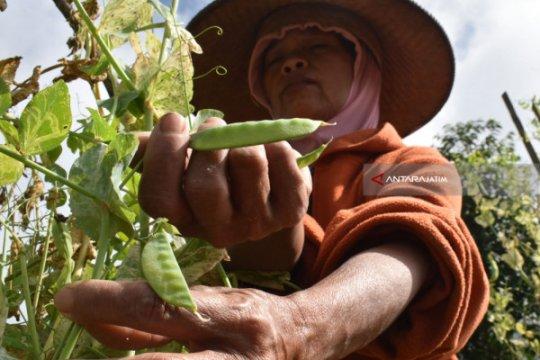 Banyuwangi ekspor 10,7 ton kacang kapri ke Taiwan