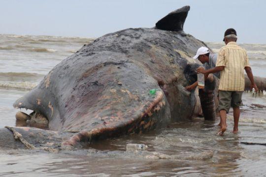 BKSDA kuburkan bangkai paus mati terdampar di Pulau Buru