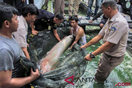 Balai Karantina Surabaya musnahkan 45 ikan predator