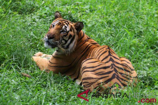 Harimau masuk pasar diduga pernah terkam ternak