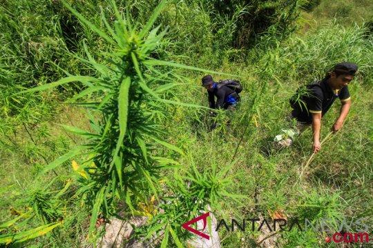 Polisi temukan ladang ganja 1,5 hektare di Purwakarta