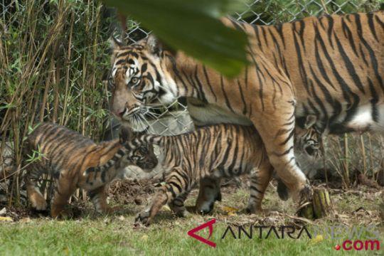 BKSDA Bengkulu menangkap pemburu harimau sumatera