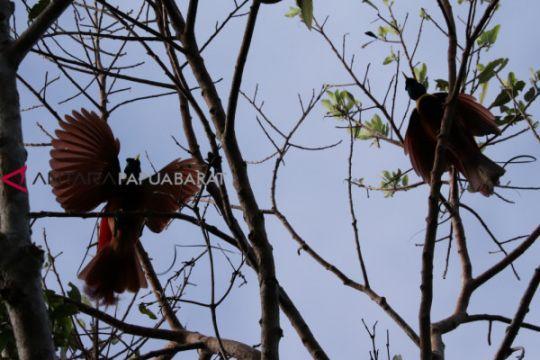 Mengintip kemunculan si pemalu cenderawasih di habitat aslinya