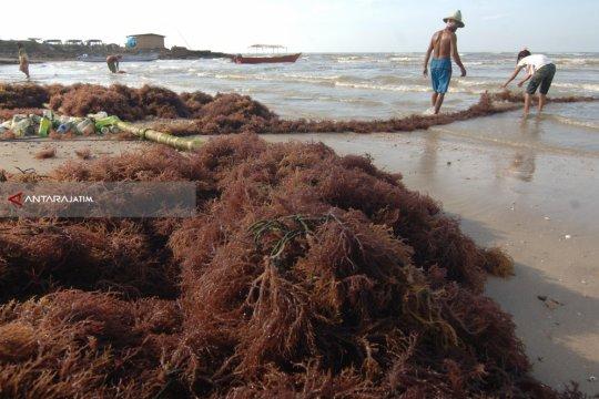 Petani Nunukan khawatirkan penyakit mengancam rumput laut