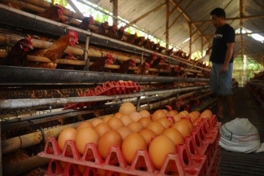 Harga telur terus melambung, Satgas Pangan turun tangan