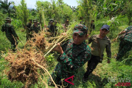 TNI/POLRI musnahkan ladang ganja dan tangkap pemilik kebun