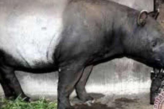 Habitat terbakar, BBKSDA Riau selamatkan tapir yang terjerat