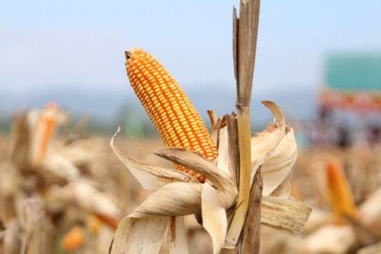 Produktivitas jagung Nasa  11 ton/ha