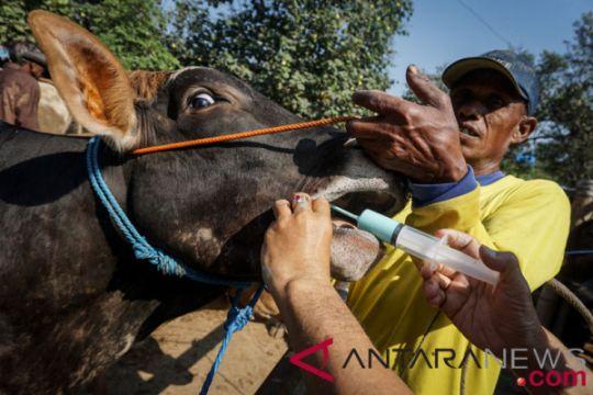 Dua sapi Agam jadi hewan kurban presiden