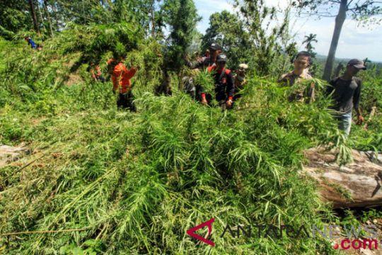 Operasi pemusnahan ladang ganja Aceh