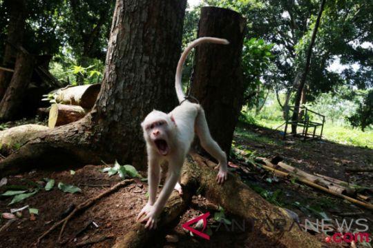 Kera albino koleksi terbaru TMM
