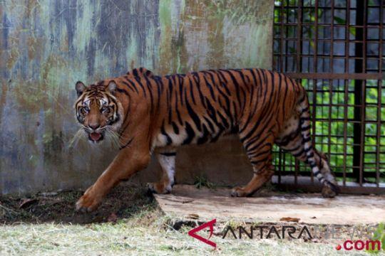 Koleksi harimau TMM bertambah