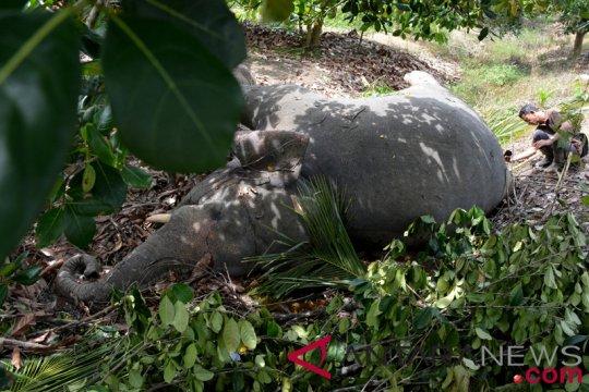 Gajah liar ditemukan mati tanpa gading di Aceh
