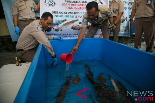 BKIPM Jambi musnahkan 14 ekor ikan aligator
