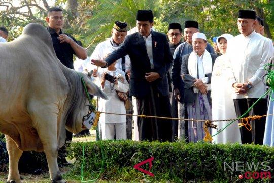 Sapi Kurban Presiden Jokowi
