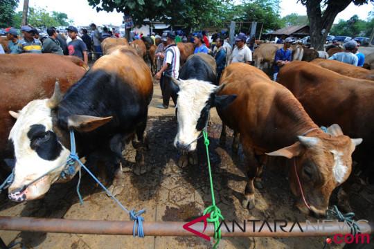 Bangsawan asal Malaysia sumbang 22 sapi kurban ke Jateng