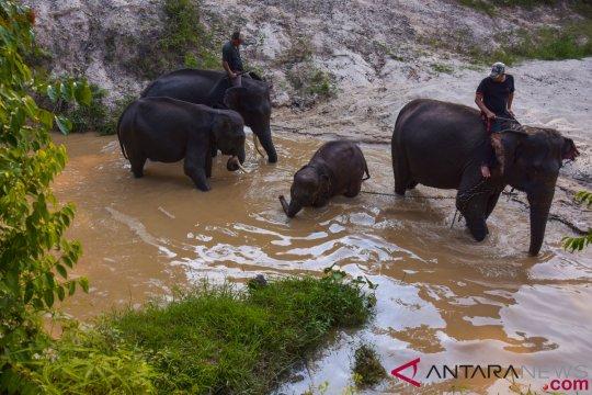 Evakuasi Anak Gajah Sumatera