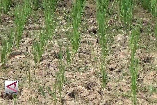 Kekeringan, petani di Kuningan gagal tanam