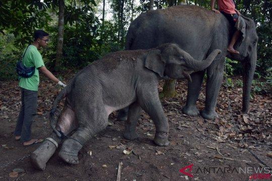 Anak gajah mati di Aceh