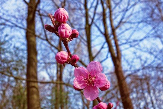 Bunga sakura mekar paling dini di Kyoto dalam 1.200 tahun