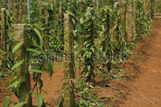 Perbatasan RI-PNG rawan penyelundupan vanili dan ganja
