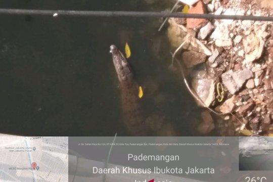 Waspada buaya yang betah di Jakarta