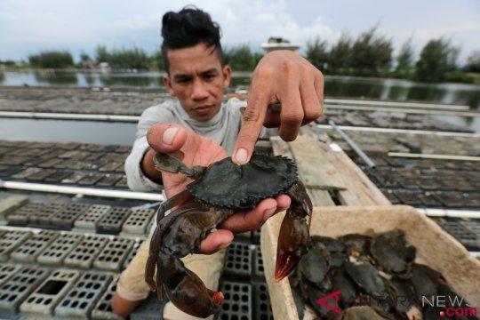 Kepiting bakau Seram Bagian Barat tembus pasar Singapura dan Malaysia
