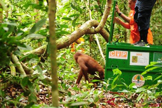 Walhi: Selamatkan orangutan Tapanuli