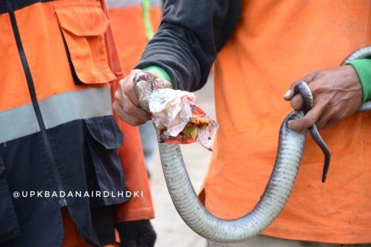 Ular kobra ditemukan saat gerebek sampah di Kali Pesanggrahan