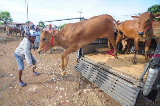 Wondama bagikan 70 sapi untuk petani
