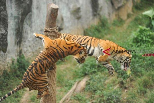 Harimau dan singa di Taman Rimba Jambi mati