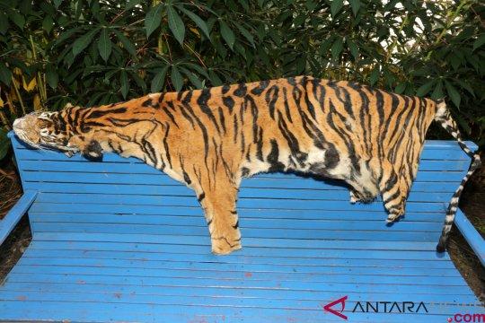 Kulit harimau Sumatera hasil sitaan di Aceh diidentifikasi