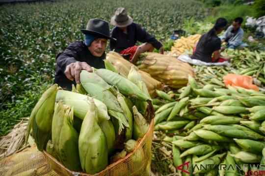 CIPS: serapan jagung Bulog akan optimal tanpa HPP