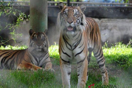 Dokter hewan periksa kesehatan singa koleksi Taman Rimba Jambi