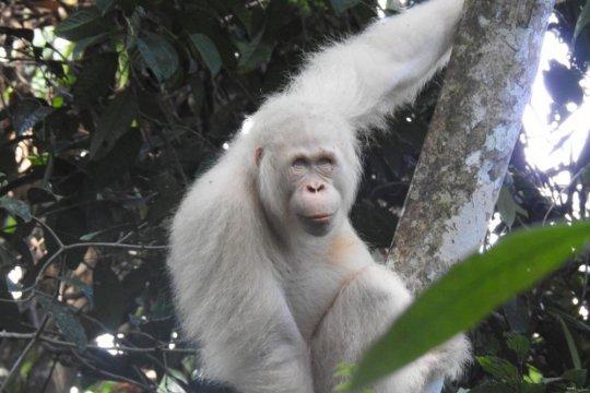 Hutan orangutan terancam alih lahan