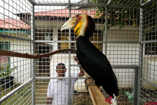 Burung rangkong julang emas sitaan