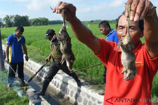 Puluhan hektare lahan padi di Madiun-Jatim diserang hama tikus