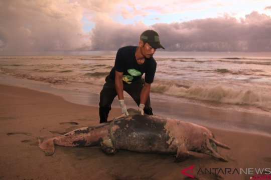 Lumba-lumba ditemukan mati di Pantai Aceh Jaya