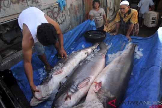 Pemerintah diminta sosialisasikan undang-undang larangan penangkapan hiu