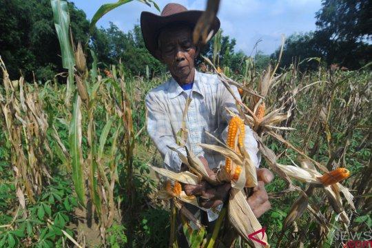Kementan dorong petani Gunung Kidul tambah populasi jagung