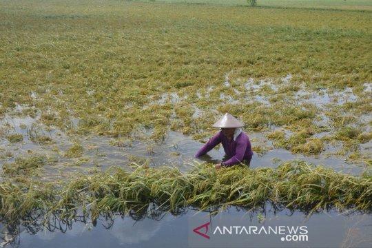 Puluhan hektare tanaman padi rusak akibat banjir di Rejang Lebong