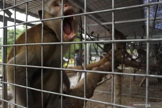25 monyet akan dilepasliarkan ke Pulau Nusa Barong