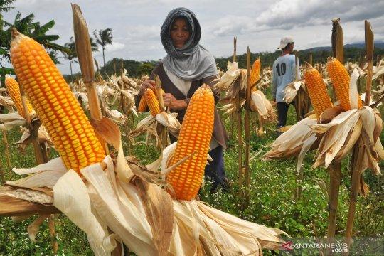 Konsumsi beras berlebih, Kementan inisiasi diversifikasi pangan