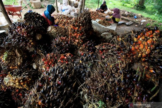 RSPO: Pekerja perempuan di perkebunan sawit perlu payung hukum