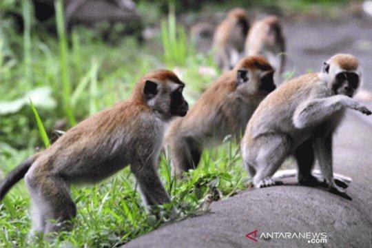 Tangerang bentuk kawasan konservasi monyet di Solear