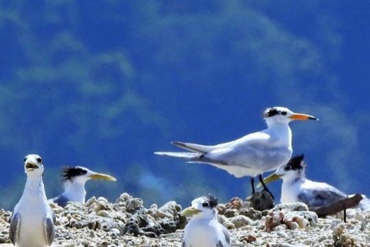 Burung Dara Laut Terpantau Migrasi Ke Australia