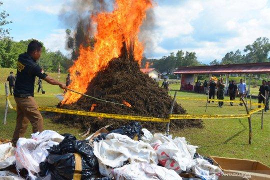 Polisi bakar ratusan kilogram ganja
