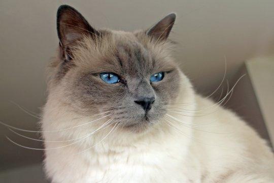 Kucing Karl Lagerfeld Choupette disebut dapat warisan Rp2,7 triliun