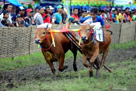 Kejuaraan karapan sapi di Madura