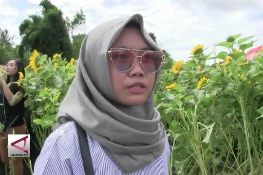 Berwisata di kebun bunga matahari